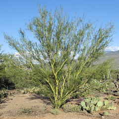 I wish palo verde trees from Arizona would become an invasive species in my town. (Tim Kiser) Tags: 2015 20151003 arizona arizonalandscape img4258 micaviewtrail october october2015 opuntia parkinsonia pimacounty pimacountyarizona rinconmountaindistrict rinconmountaindistrictlandscape rinconmountaindistrictofsaguaronationalpark rinconmountains saguaronationalpark saguaronationalparkeast saguaronationalparklandscape saguaroparkeast tucsonmetropolitanarea cactus desert desertlandscape desertplants distantmountains green greentreebranches greentreetrunk landscape nationalpark nationalparklandscape paloverde paloverdetree park pricklypear pricklypearcactus southarizona southeastarizona southeasternarizona southernarizona sunny sunnylandscape view