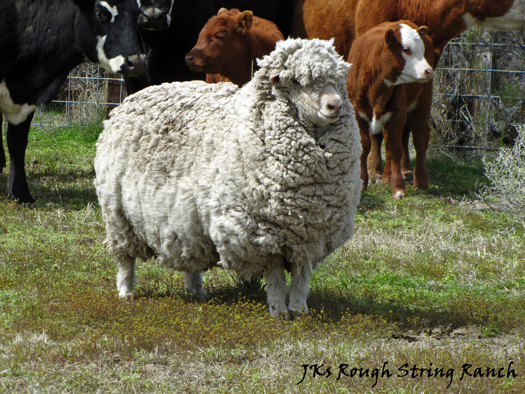 The Infamous Sheep