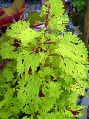 Coleus 'Pineapplette'