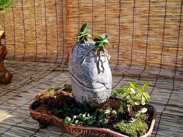 Бонсай верхом на камне