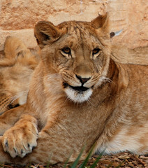 Sourire (tircisia) Tags: nature animal zoo sauvage lionceau