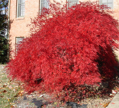 Japanese Red Lace Leaf Maple