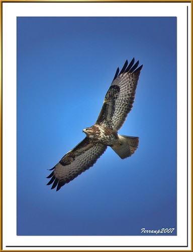 Aligot en vol 03 - Ratonero en vuelo - Common Buzzard in flight- Buteo buteo