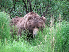 Larsen Bay Bear (Lora Metanchuk) Tags: bear grass animals wildnature