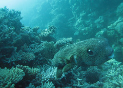 puffer (kozyndan) Tags: fish coral underwater dive scuba diving puffer reef pufferfish coralsea theentrance ospreyreef