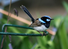 Superb Fairy-wren. (Greg Miles) Tags: australia nsw fpc mttomah blueribbonwinner superbfairywren maluruscyaneus mttomahbotanicgardens golddragon mywinners mywinner anawesomeshot