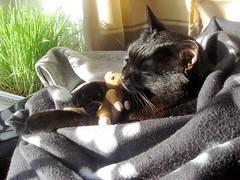 Kiss kiss (Farruska) Tags: black silly cat preto gato bombay katze pateta blöd schwarze farrusko