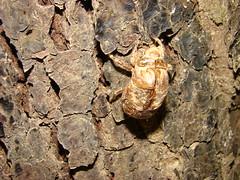 Roupa velha da cigarra (marilisa gualberto) Tags: allxpressus