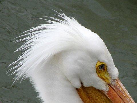 portrait of the american pelican