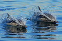 Twofer! (fotolen) Tags: ocean life sea nature jump marine pacific slice dolphins common breach rickspixtop50