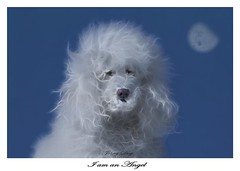 Charged with Beauty (Johny Day) Tags: angel holly hollywood standardpoodle oneofmybest canicheroyal abigfave johnyday anawesomeshot impressedbeauty johnyday beautifulldog johnydaystudioyahoocom bestlookingdog