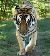 Turpentine Creek Johnathan (turpentine creek) Tags: wild cat lion bobcat cougar siberiantiger lynx mountainlion eurekasprings africanlion turpentinecreek bengaltiger whitebengaltiger bigcatrescue royalbengaltiger whitesiberiantiger endangeredsiberiantiger bigcatsanctuary bigcatwildliferefuge