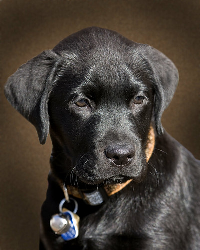 """Juno"" - Male Black Labrador - 8 weeks old - Guide Dog in Training! - BC Guide Dog Services par Rick Leche"