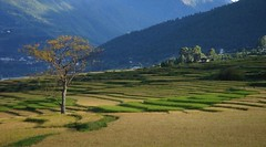 Lonely tree (blogmulo) Tags: tree verde green arbol bravo rice bhutan terraces fields ricepaddies campos arroz punakha terrazas firstquality aplusphoto camposdearroz blogmulo