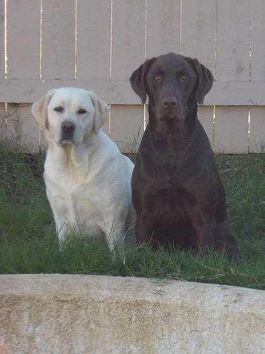 labs - Allee and Frankie