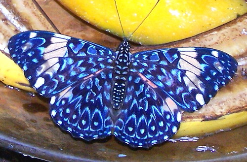 Hungry Blue Butterfly