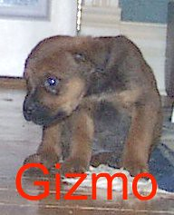 Gizmo (muslovedogs) Tags: dogs puppy mastweiler zeusoffspring myladyoffspring