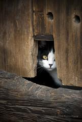 gatto timido (naian) Tags: porta felino tana gatto bianco nero legno nascosto timidezza pertugio