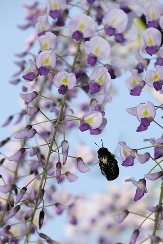 Wisteria and carpenter bee