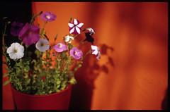 sunny side (nabenori) Tags: plant urbannature fm3a f12
