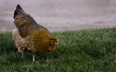 Why Did The Chicken Cross The Road? (Domain Barnyard) Tags: vegas pet bird chicken animal funny humorous farm humor may kitty chick poultry amusing 2008 avian birdbrained rhodeislandred tingey domainbarnyard twtme whydidthechickencrosstheroad