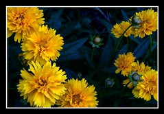 Yellow flowers (BC'sMom) Tags: flower yellow loveit platinumheartaward awesomeblossoms