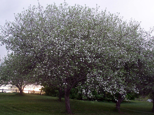 AppleTrees_51708