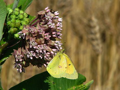 butterfly milkweed and grain