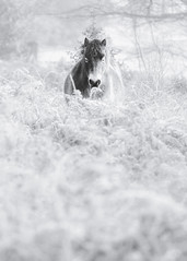 Elusive (Vemsteroo) Tags: beautiful birmingham equine forest frost horses lrthefader lake landscape nature ponies suttonpark trees westmidlands winter woodland cold frozen hoarfrost iceland park parklands atmospheric ethereal animal monochrome blackandwhite fujifilm fuji xt2