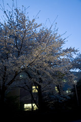 Cherry Blossom in the Night