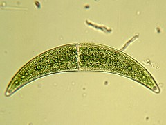 Closterium moniliferum (Marco Spiller) Tags: algae closterium desmidiales moniliferum