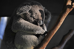 featherdale13.jpg (picsie14) Tags: featherdale australiananimals animals wildlife nikond700 d700 80400mm longlens sydney nsw australia interesting interestingness interestingness2 koala cuteanimal sleeping sleep eucalyptus fur cute funnyanimal