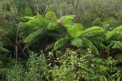 L1006443 (Maharepa) Tags: leica newzealand fern tree nature flora natur nz aotearoa farn neuseeland m9 baumfarn ferntrees cyatheales farnbume