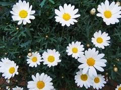 home garden ...Margariten ..oxeye (RenateEurope) Tags: flowers leaf flora nikon vine coolpix blume oxeye weinblatt margariten 2011 s8000