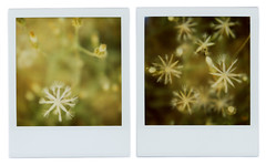 constellations (2) (Cℓea tecℓea) Tags: flowers composite polaroid sx70 diptych constellations blend
