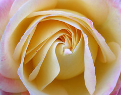 Rose for you (Dave :-) (on and off)) Tags: flowers flower rose dave soe mywinners abigfave anawesomeshot flickrdiamond overtheexcellence macromarvels goldstaraward