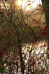 autumn morning ([klauspeter]) Tags: morning bridge november autumn red sun fall canon berry 300d herbst digitalrebel brcke veerse 2007 scheeel klauspeter kirchweg bartelsdorf kirchsteg