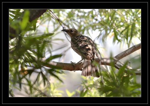 Spotted Bowerbird-5851