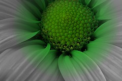 My First lightbox macro green flower~March 2007~Retouch Dec 2007 (Cindy's World) Tags: canada flower macro green floral nb newbrunswick blueribbonwinner taketime111 abigfave 1on1colorfulphotooftheday 1on1colorfulphotoofthedaymar2007 1on1colorfulgroup wowiekazowiegroup