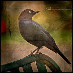 Birds of a... (Julian E...) Tags: black bird texture nature composition bench square spring bravo archive perch soe blackbird ilustration brewersblackbird doi themoulinrouge euphaguscyanocephalus blueribbonwinner magicdonkey flickrsbest 35faves fineartphotos thankssilvia anawesomeshot goldenphotographer oldbookpage megashot theunforgettablepictures betterthangood thegardenofzen interestedinfeedback