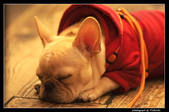 Sleeping dog ...(_ _).    (Fukuda.) Tags: friends dog japan harmony fukuoka inspire fpc letmeentertainyou mywinners abigfave impressedbeauty aplusphoto goldenphotographer wowiekazowie diamondclassphotographer allin1 heartawards theunforgettablepictures goldsealofquality everydayissunday bellasrainbowcolors bebitoboxer