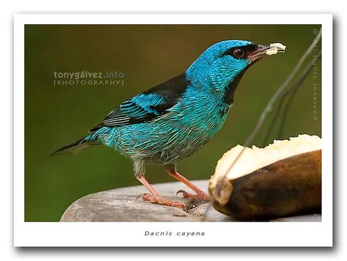 Birds from the Atlantic Rainforest