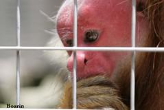 Momento de reflexo... (Boarin) Tags: natureza cara macaco vermelha