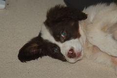 Coffie 0007 - Kleiner Mnsterlnder/Australien Shepard (mythiey) Tags: dog cute dogs puppy sweet cutie lovely kleinermnsterlnder australienshepard