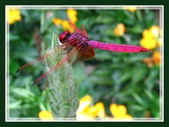Trithemis aurora (Crimson or Dawn Downwing)