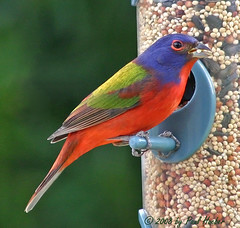 Painted Bunting male (Passerina ciris) blending in.... (Paul Hueber) Tags: blue red color male green bird nature birds canon colorful florida wildlife birdfeeder feeder aves ave springs handheld ha seminole 75300 avian bunting canon75300 seminolecounty altamontesprings centralflorida paintedbunting altamonte pabu passerinaciris passerina featheryfriday ciris musicarver wheneastereggshatch