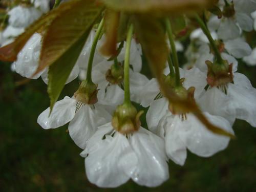 Cerisier en fleur (10)