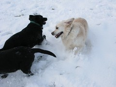 Pups at play (fuelspin) Tags: uk morning winter england white snow cold weather spring play bright powder fresh pale sparkle covered fallen oxford april icy crusty slippery thick banbury conditions