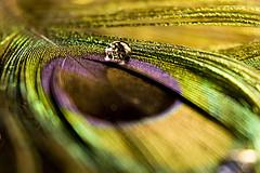 0\ (Luiz C. Salama) Tags: macro c feather drop pena gota luiz salama pavo ocioso drocio duetos luizsalama salamaluiz metareplyrecover2allsearchprigoogleover