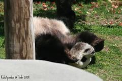 Le Le Rolling (kuku4pandas) Tags: china giant zoo memphis bears endangered lele pandas memphiszoo giantpandas